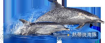 熱帶斑海豚